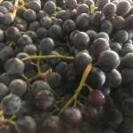 Seedless coronation grapes