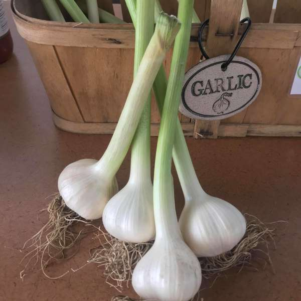 Garlic Is Here!